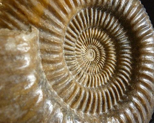Jura-Ammoniten VII