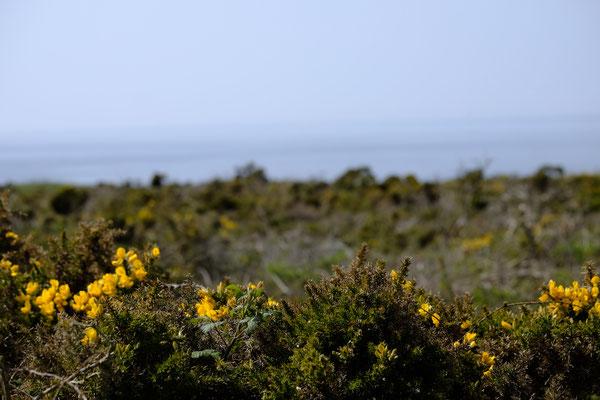 Die Bretonische Heidelandschaft: Jetzt im Frühling besonders schön, weil alles blüht und duftet