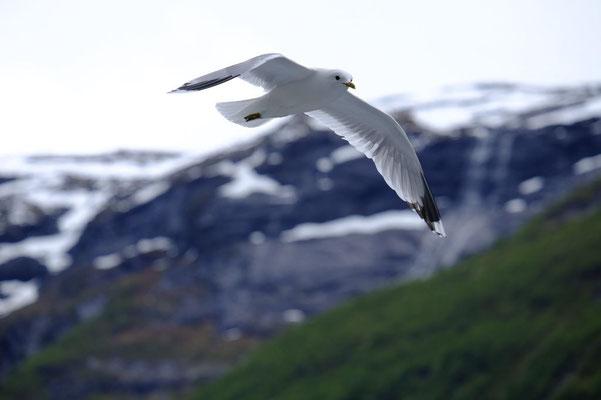 Diese Möwe kann den Geirangerfjord auch ohne Schiff bewundern. Ob sie sich wohl auch grade freut, dass es dort so schön ist?