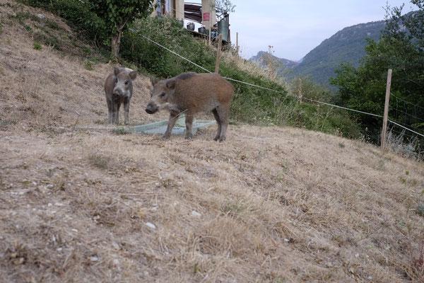 Wildschweine, sehr zahme Wildschweine die bis auf 2 Meter an uns herankamen