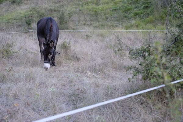 Der Esel auf unserer Weide, jeden Abend wurde diese von uns für ihn neu aufgebaut