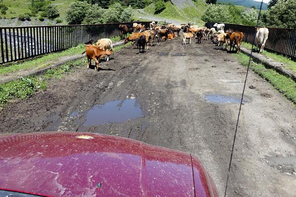 Kühe sind Autos gegenüber auf georgischen Straßen meistens in der Überzahl