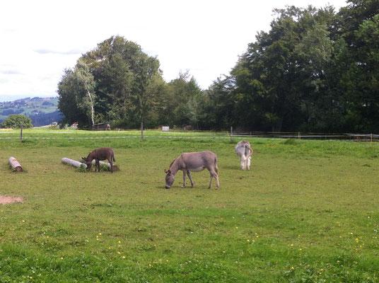 unsere Esel auf der Weide...