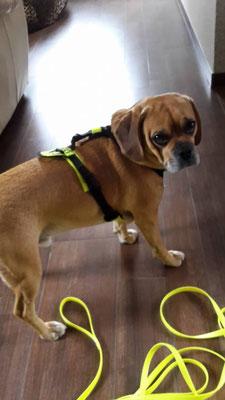 Mantrailing Hundegeschirr