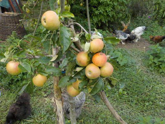 Äpfel und andere Halbstämme, dahinter Hühner