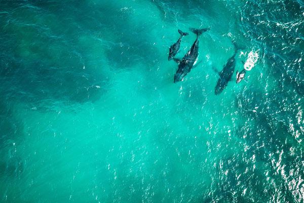 Wale in Australien, Ningaloo Reef
