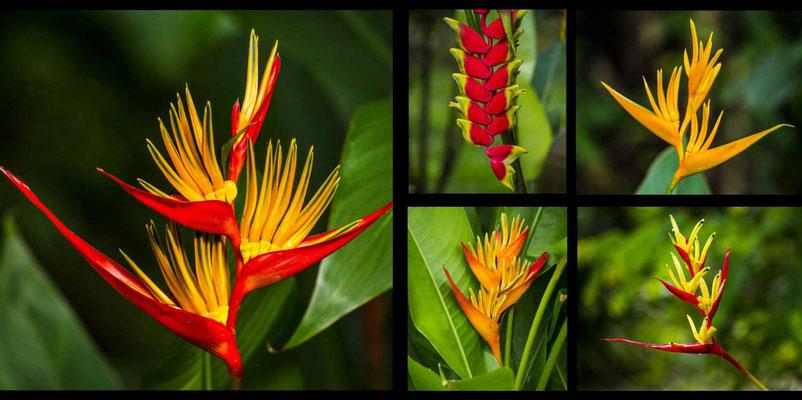 Bildband Suedthailand, Thailand, Raimund Franken, Farbenpracht im Khao Sok Nationalpark, Strelizien und Heliconia