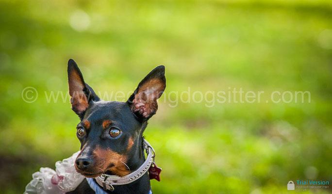 PINSCHER ALLE NOZZE WEDDING DOG ROMA TENUTA SAN LIBERATO BRACCIANO