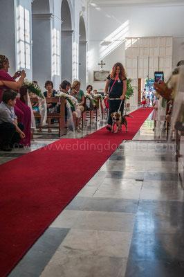 Cane paggetto porta le fedi in chiesa