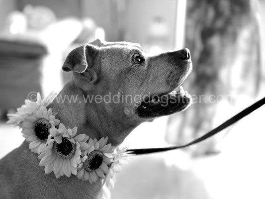 PITBULL WEDDING DOG SITTER ROMA