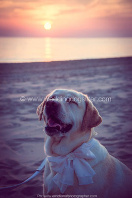 LABRADOR AL MATRIMONIO WEDDING DOG SITTER