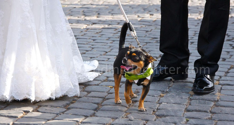 MATRIMONIO WEDDING DOG SITTER ROMA chihuahua VILLA BELLINI