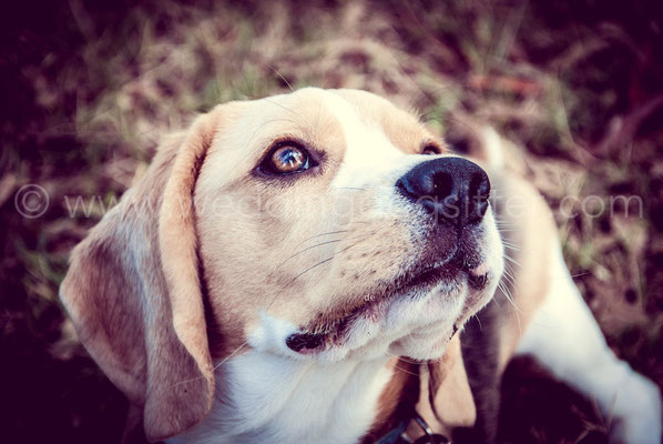 WEDDING DOG SITTER MATRIMONIO CON BEAGLE