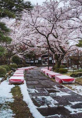 おちこぼれ  桜隠しの雪