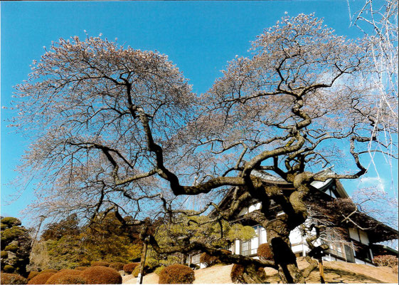しおたろう 塩竈神社四季桜