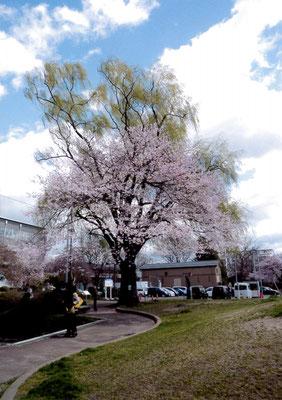 せせらぎ 若林区役所 桜と柳