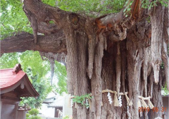 エダ  苦竹の乳銀杏(国天然記念物)樹齢1,200年