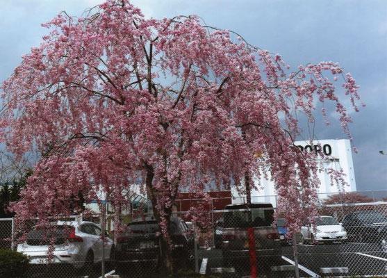 ハイバー  サッポロビール園の桜