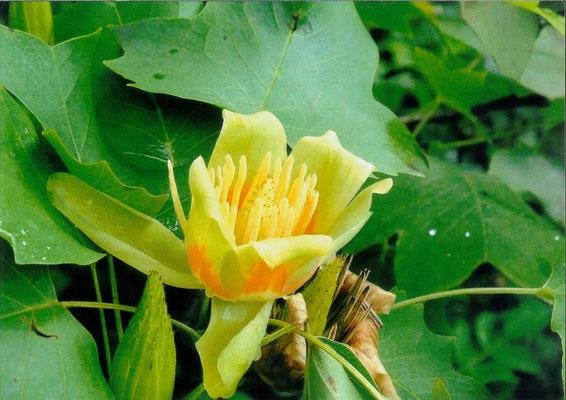 逸朗  野草園にて ユリの木の花