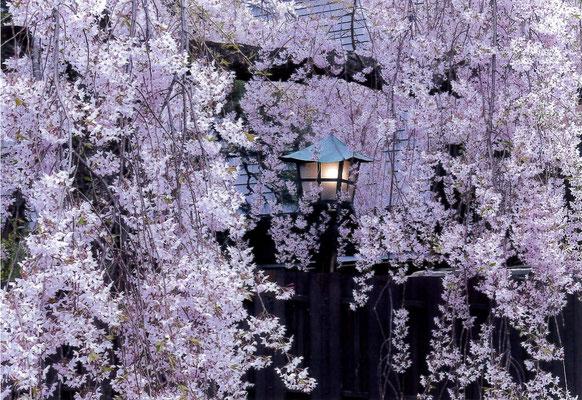 逸朗 枝垂桜と灯篭