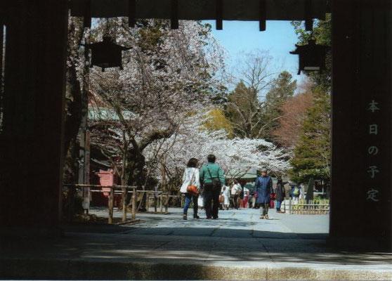 しおたろう  山門から見た塩竈神社の桜