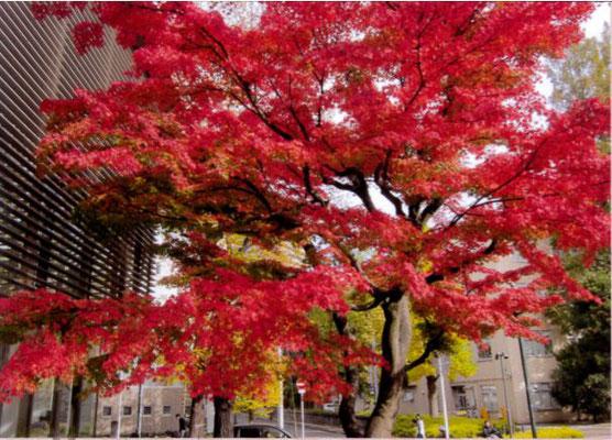 やまちゃん 東北大学片平キャンパスの紅葉