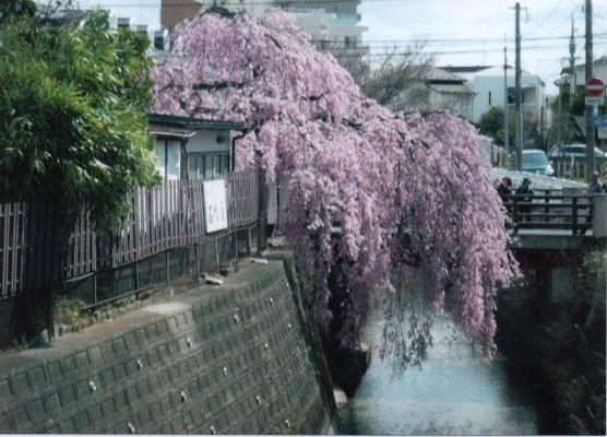 せせらぎ  七郷堀の桜
