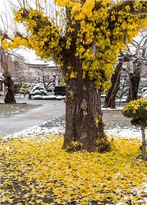 おちこぼれ  雪の黄落