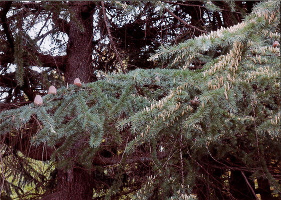 エダ 西公園のヒマラヤ杉