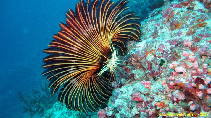La comatule, de l'ordre des crinoïdes, ni corail, ni gorgone