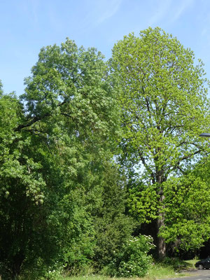 Le pacanier, arbre remarquable(photo J.L. Deysson)