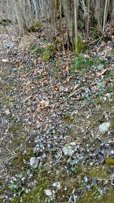 Erste Frühjahrsblüher auf trockenen Waldboden im Tessin