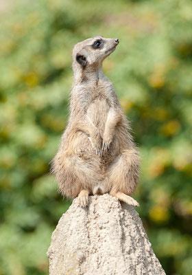 Erdmännchen - © Dirk Brzoska