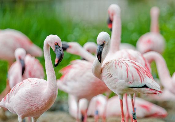 Flamingos im Zoo Leipzig - © Dirk Brzoska