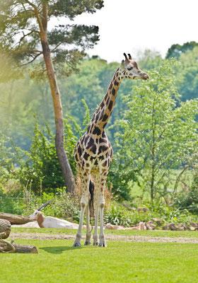 Giraffe im Zoo Leipzig - © Dirk Brzoska