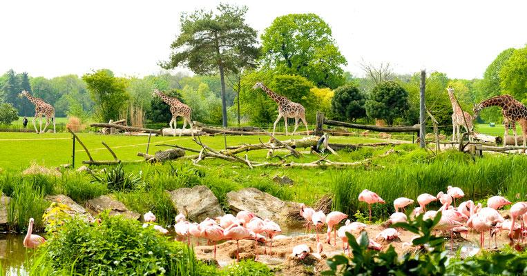 Afrika Savanne im Zoo Leipzig mit Giraffen und Flamingos - © Dirk Brzoska - Fotograf aus Leipzig