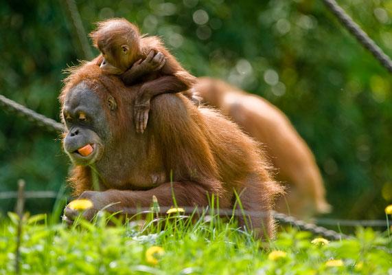 Orang Utan im Zoo Leipzig - © Dirk Brzoska - Fotograf aus Leipzig