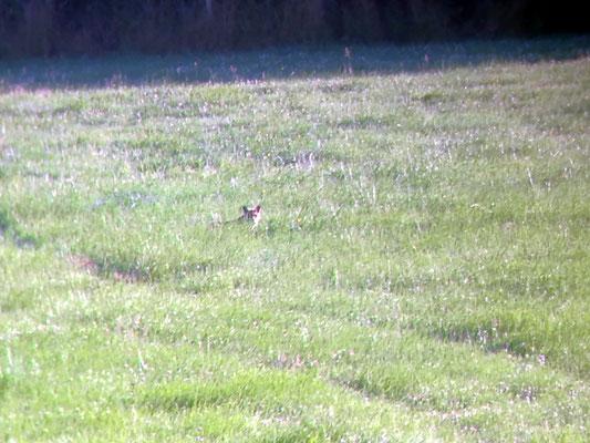 Am frühen Morgen genießt der Fuchs  die ersten Sonnenstrahlen