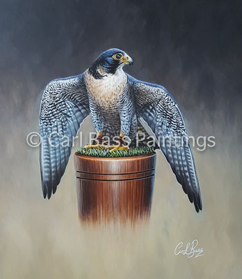 Peregrine on block