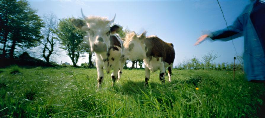 La curiosité des vaches, 2010, L90 cm x H47 cm, 1/30, © Annick Maroussy