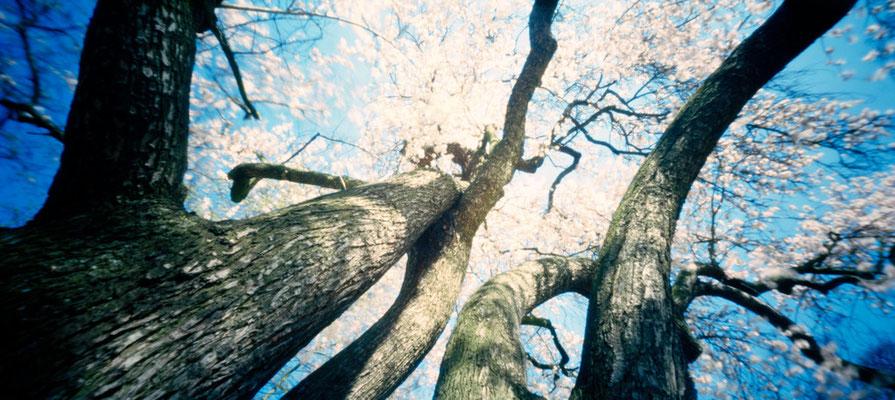 Parc de Boulogne-Billancourt, Edmond-de-Rothschild, Amandier en fleurs, Prunus amygdalus 'Dulcis', 2009, L88 cm x H47 cm, 1/30, © Annick Maroussy