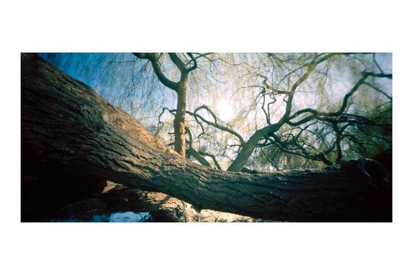 Bois de Boulogne Billancourt, Renaissance du saule pleureur, 2009,