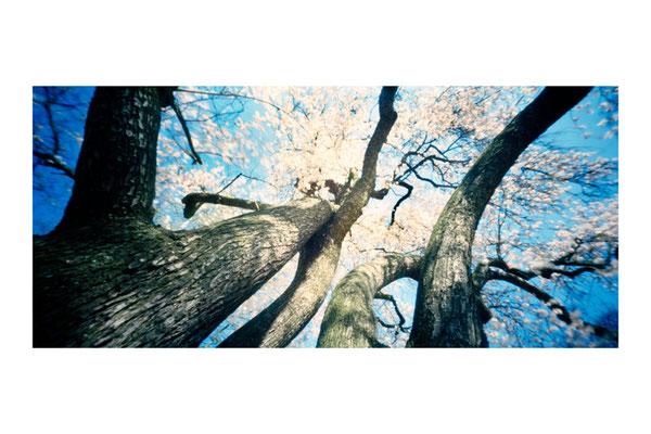 Amandier en fleurs, Prunus amygdalus 'Dulcis', 2009, Arbre remarquable, Parc de Boulogne-Billancourt, Edmond-de-Rothschild, L88 × H47 cm, 1/30
