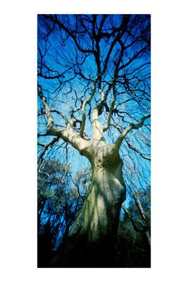 Hêtre pleureur, Fagus sylvatica 'Pendula', 2009, L48 × H90 cm, 1/30 © Annick Maroussy