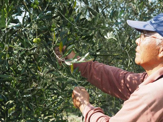 オリーブ栽培