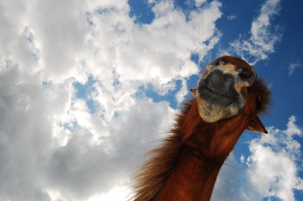 Pferd aus der Sicht eines Zwerges