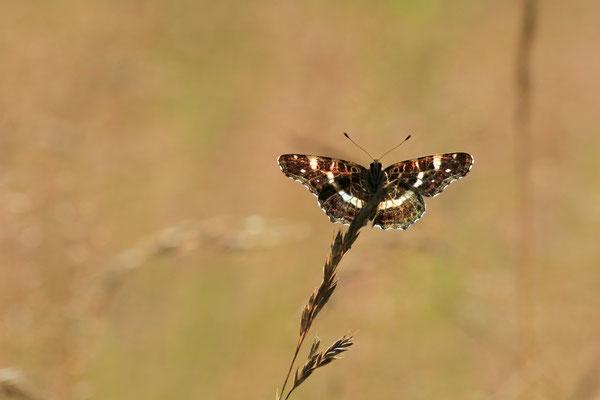 Schmetterling im Gegenlicht