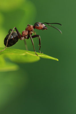 Ameise hält ausschau