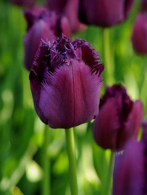 Tulipa 'Curly Sue'
