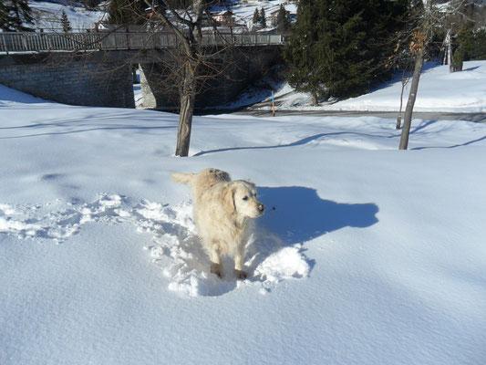 Haushund Aico
